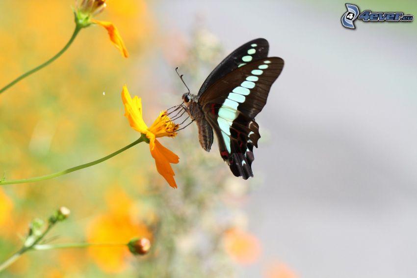 mariposa negra, mariposa sobre una flor, flor amarilla