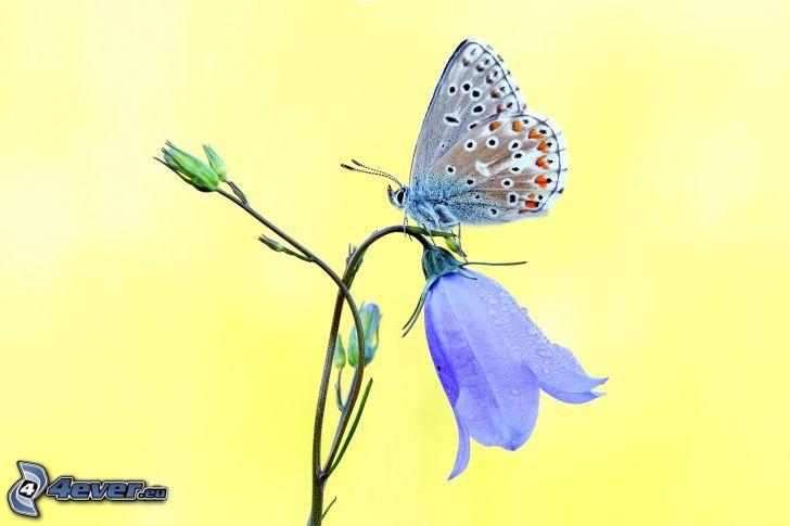mariposa sobre una flor, campanas ingleses color púrpura