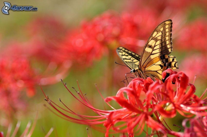 mariposa sobre una flor, el macaón, flor roja, macro