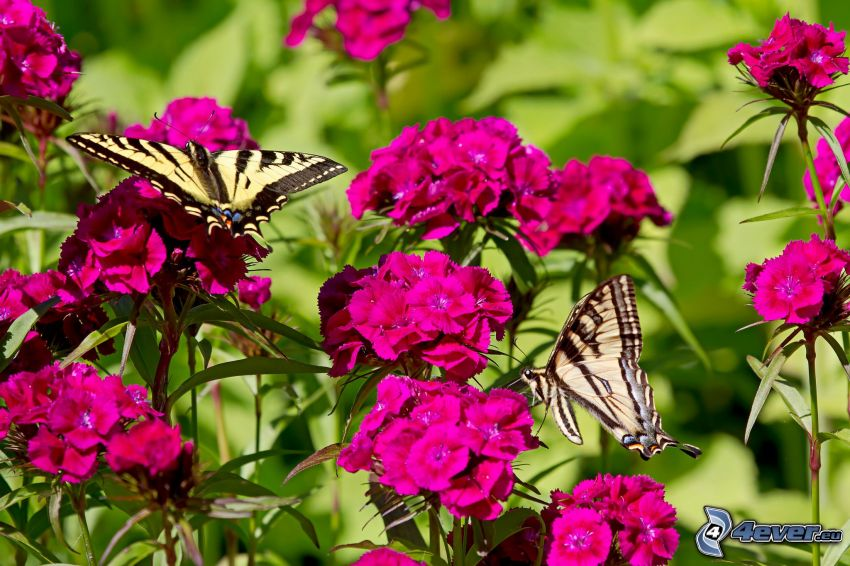mariposa sobre una flor, el macaón, flores de color rosa