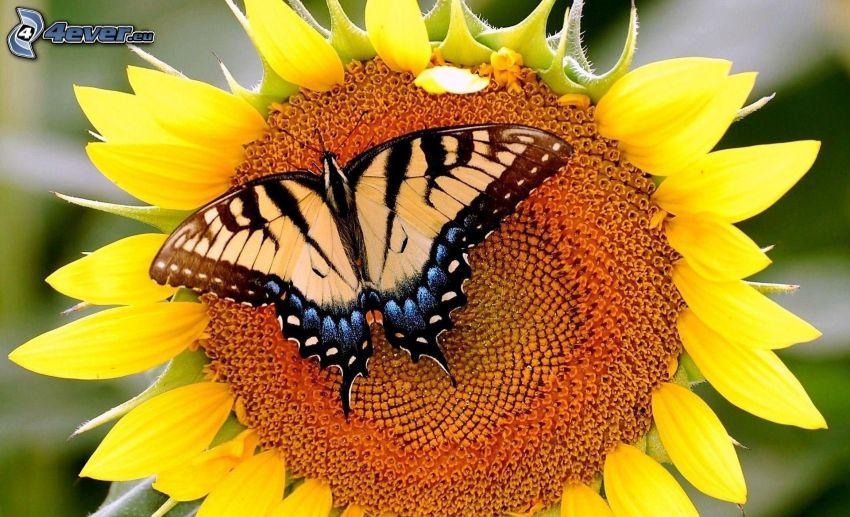 mariposa sobre una flor, el macaón, girasol