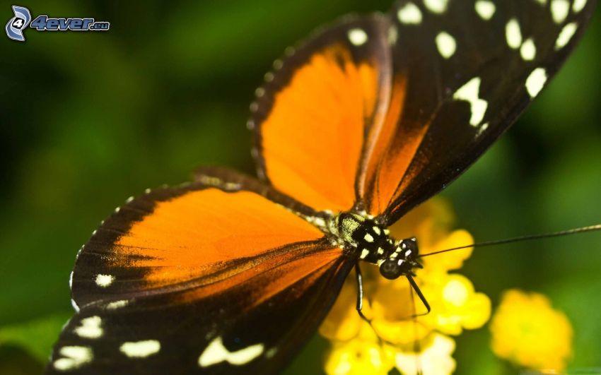 mariposa sobre una flor, flor amarilla, macro