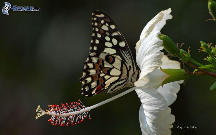 mariposa sobre una flor, flor blanca