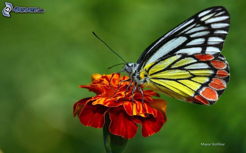 mariposa sobre una flor, flor de naranja, macro