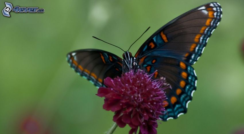 mariposa sobre una flor, flor púrpura, macro