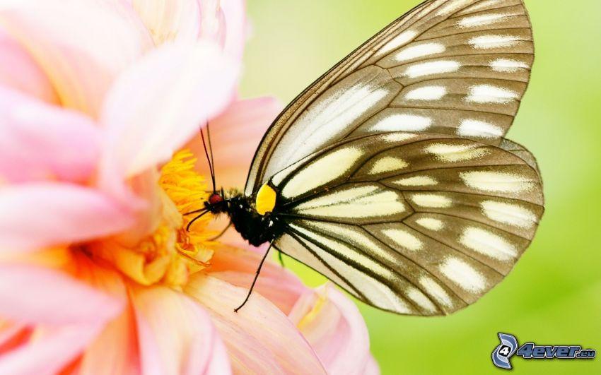 mariposa sobre una flor, flor rosa, macro