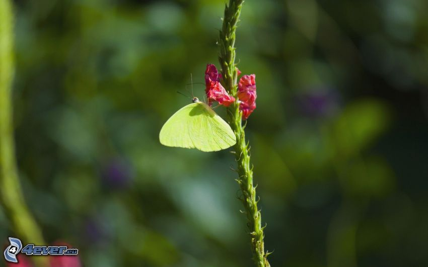mariposa sobre una flor, flor rosa