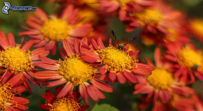 mariposa sobre una flor, flores de color naranja