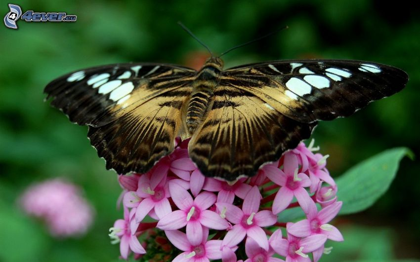 mariposa sobre una flor, flores de color rosa
