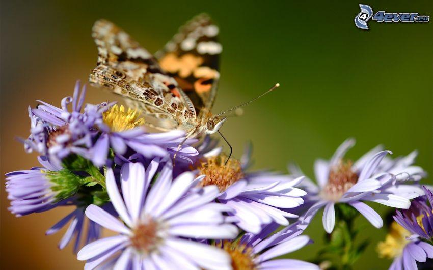 mariposa sobre una flor, flores de coolor violeta, macro
