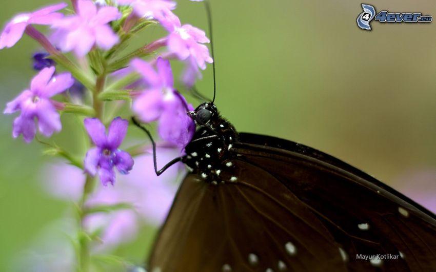 mariposa sobre una flor, flores de coolor violeta, mariposa negra