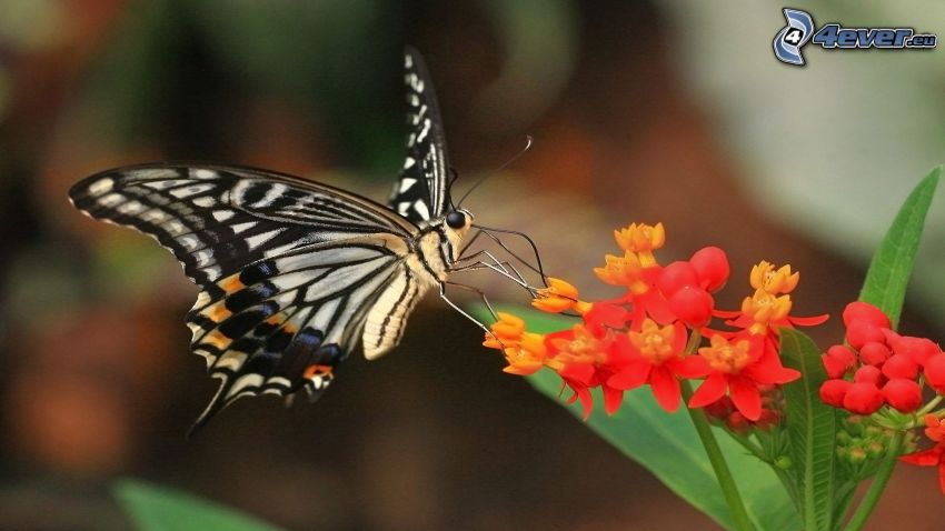 mariposa sobre una flor, flores rojas
