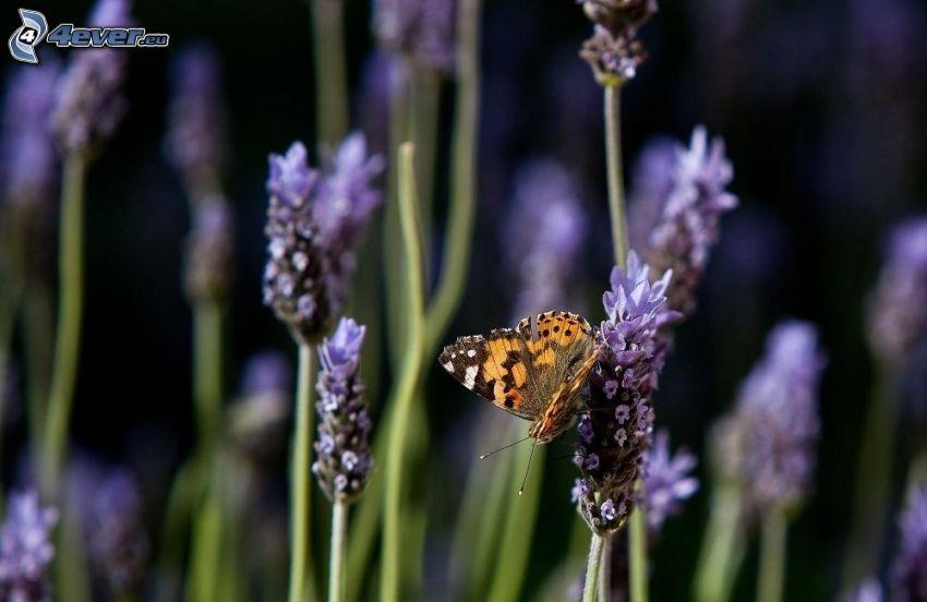 mariposa sobre una flor, lavanda