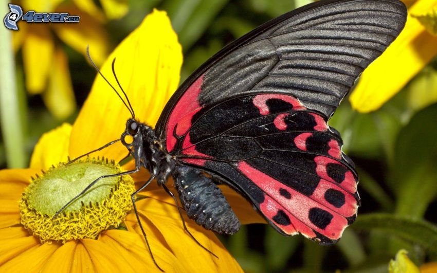 mariposa sobre una flor, macro, flor amarilla