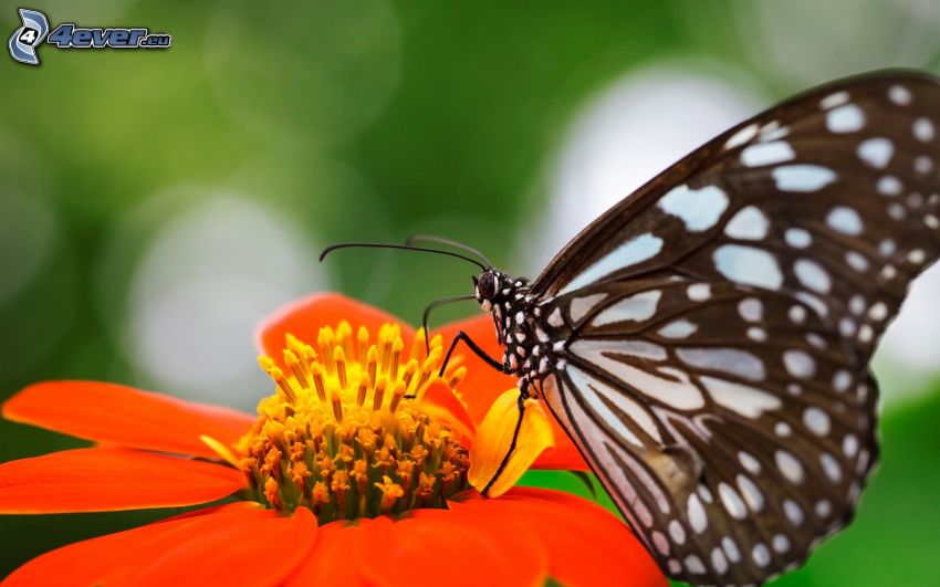mariposa sobre una flor, macro, flor de naranja