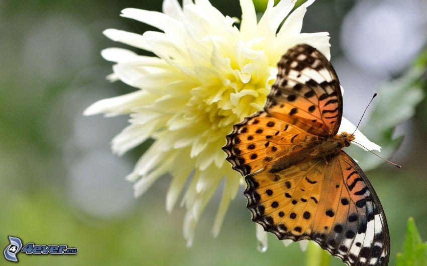 mariposa sobre una flor, macro