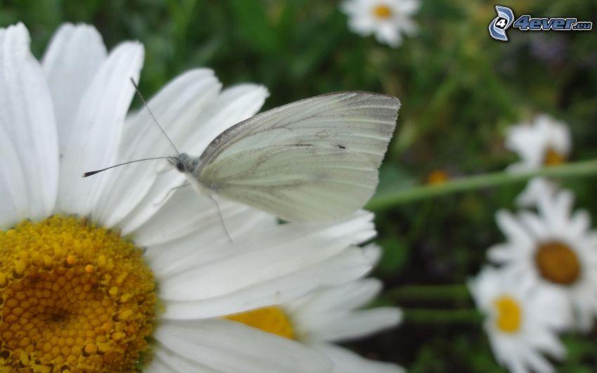 mariposa sobre una flor, margarita