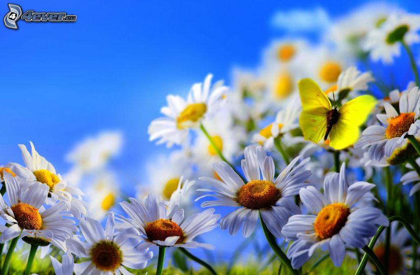 mariposa sobre una flor, margaritas