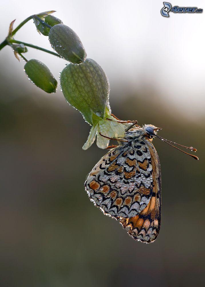 mariposa sobre una flor, rocío