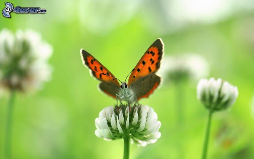 mariposa sobre una flor, trébol, flor blanca