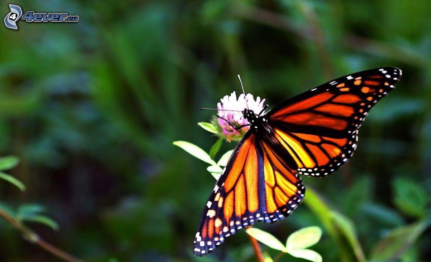 mariposa sobre una flor, trébol