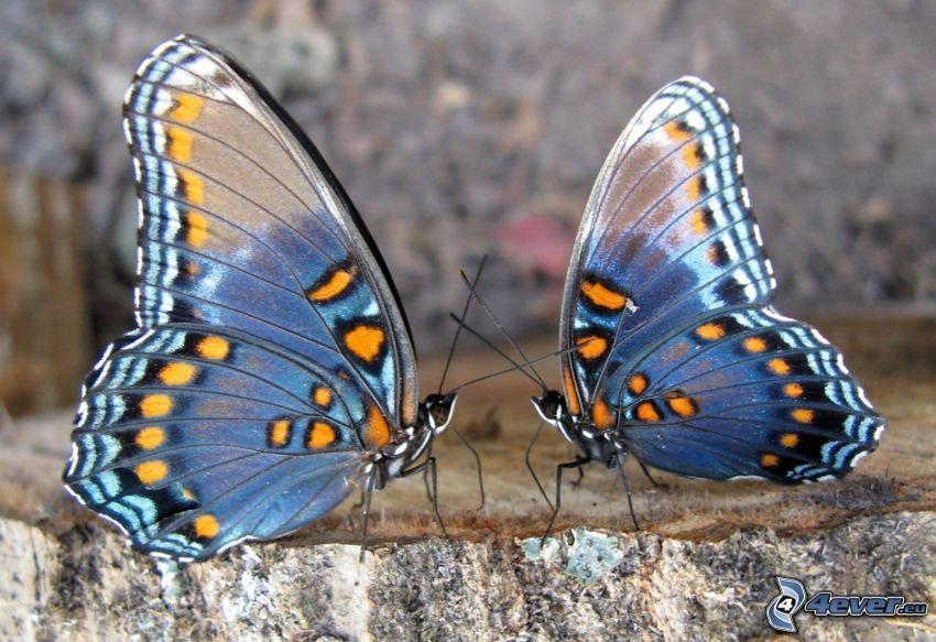 mariposas azules, pareja, macro