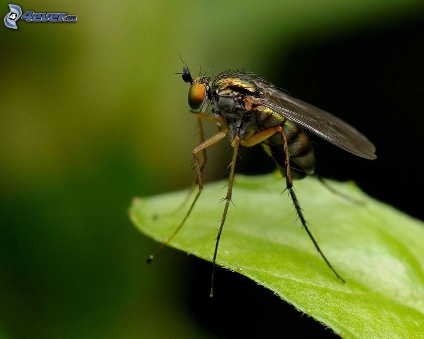 mosquito, hoja