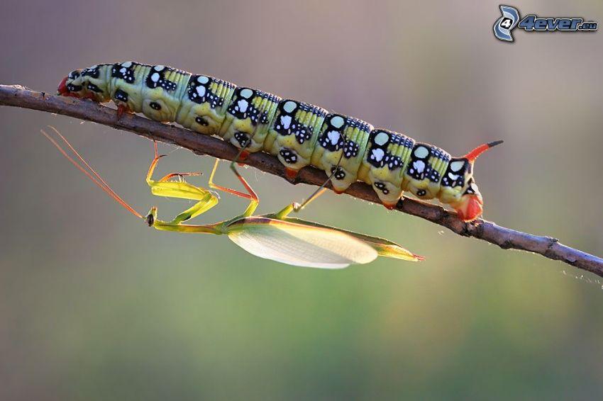 oruga, insecto, ramita