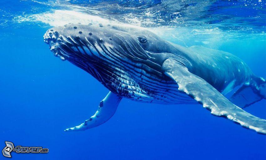 ballena de alas largas