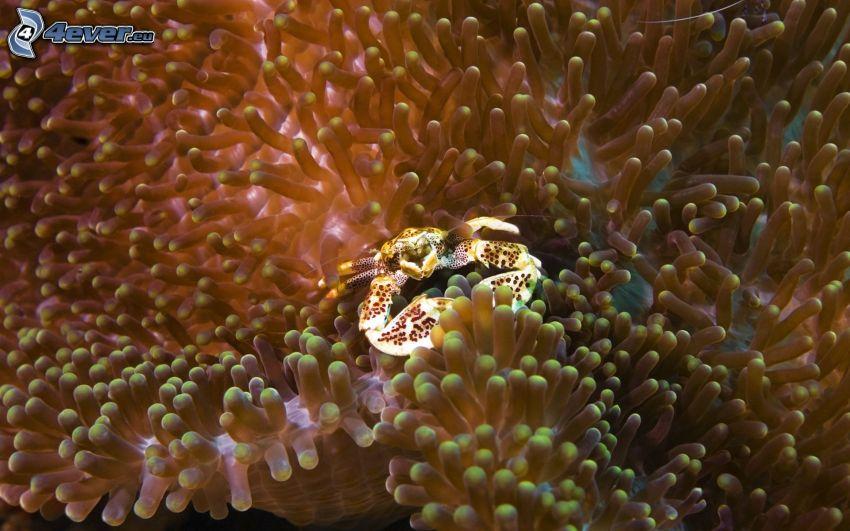cangrejo, anémonas de mar