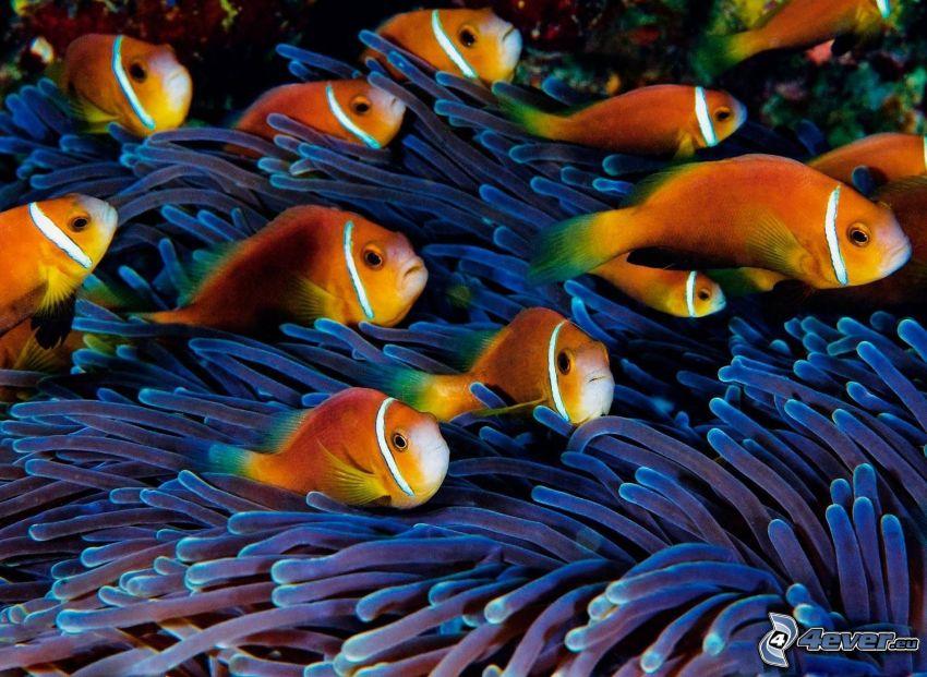 Clown Fish, anémonas de mar, peces