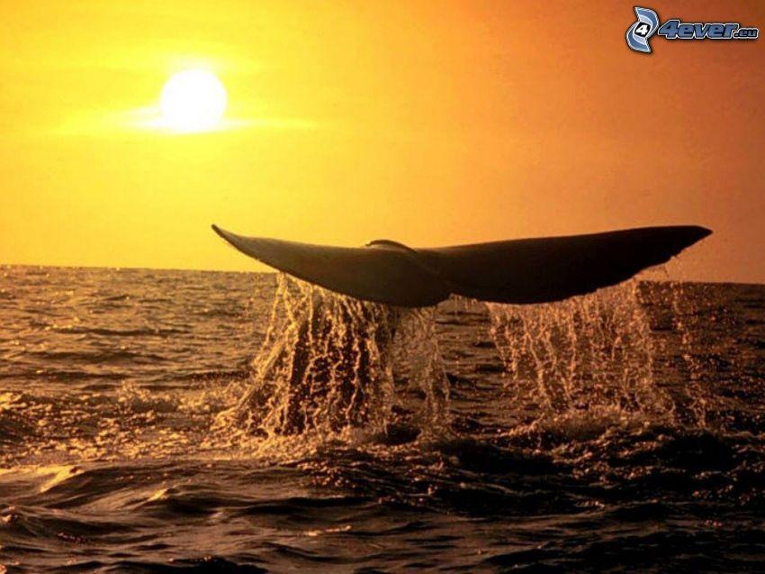 cola de orca, aleta, puesta de sol sobre el océano, mar