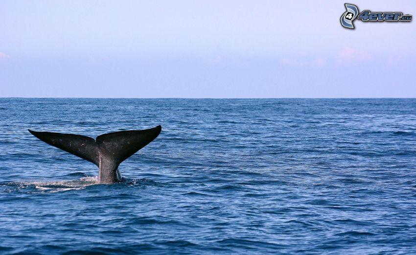 cola de orca, mar