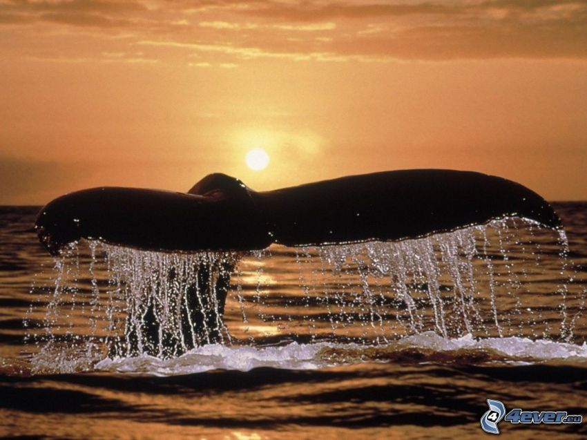 cola de orca, puesta de sol sobre el mar