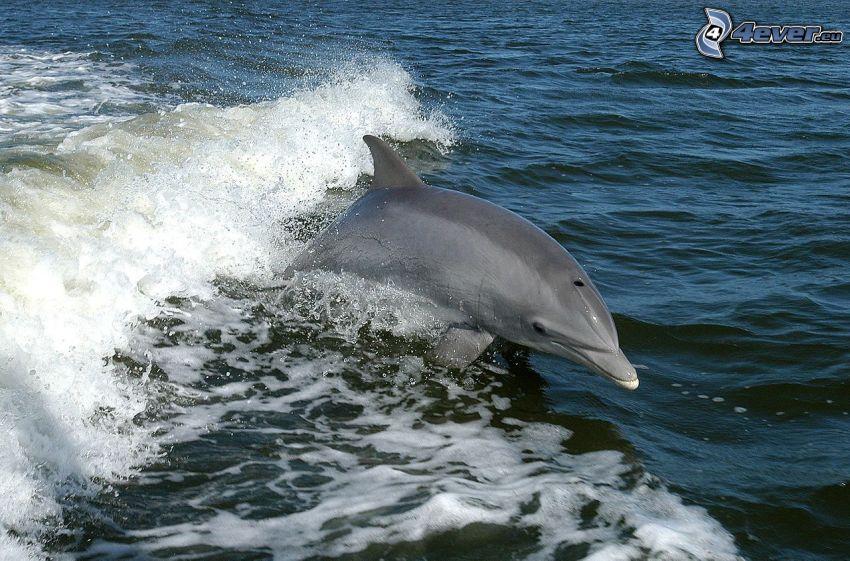 delfín, ola