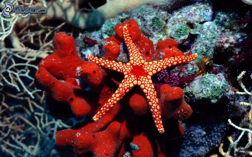 estrella de mar, corales marinos