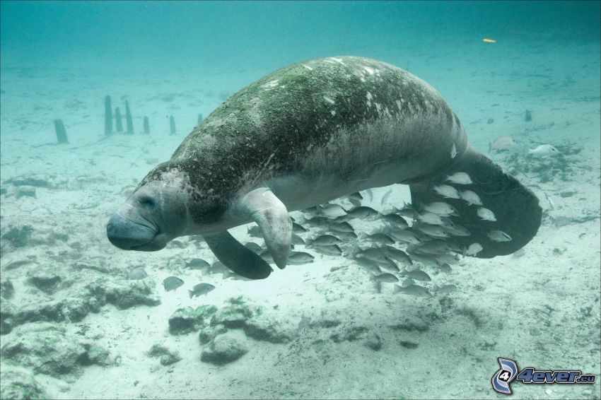 Manatí, peces, fondo del mar