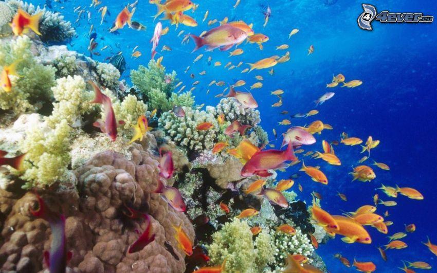 pez coral, corales marinos