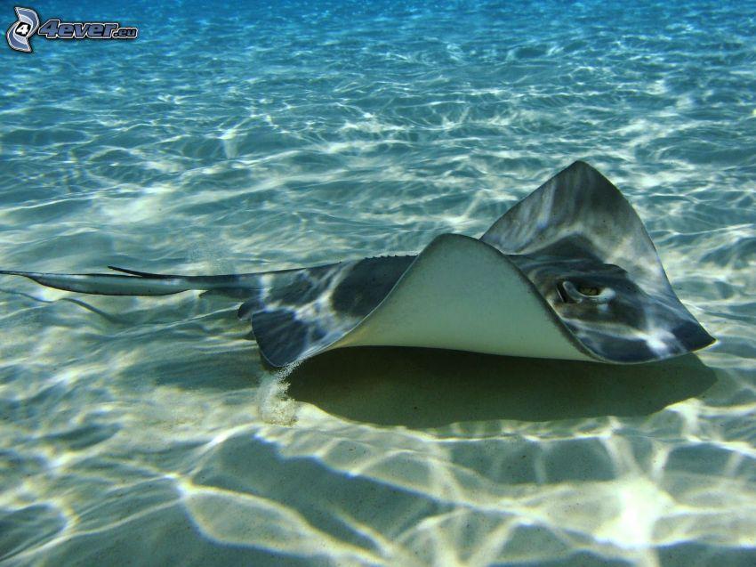 raya marina, fondo del mar, arena