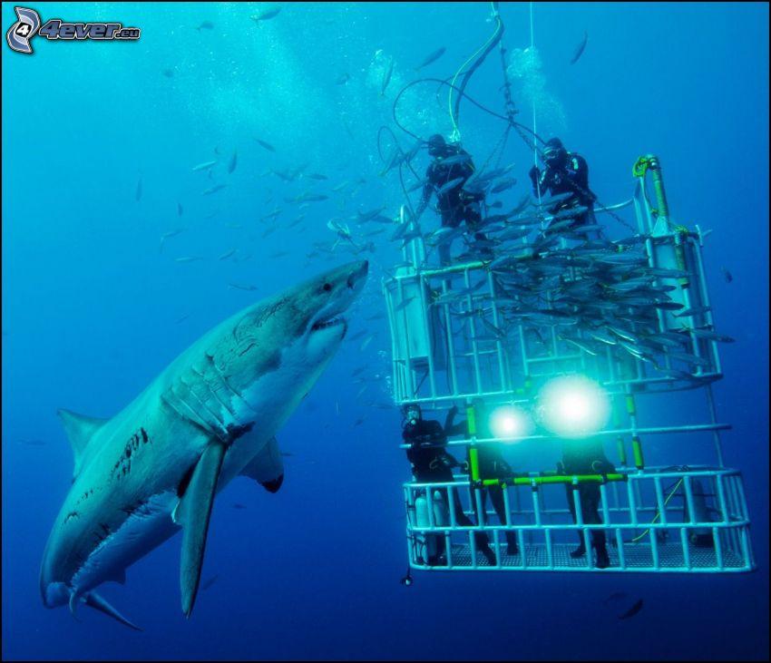 tiburón, buceadores, peces