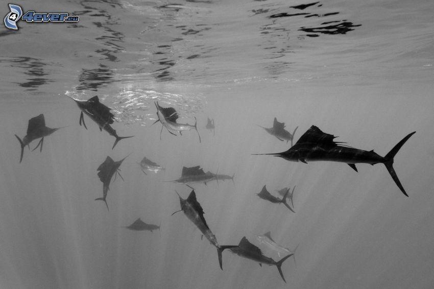 tiburones, agua, blanco y negro