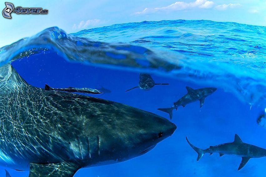 tiburones, agua azul, ola