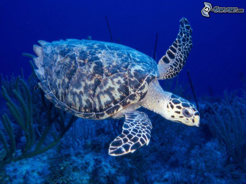 tortuga marina, animal