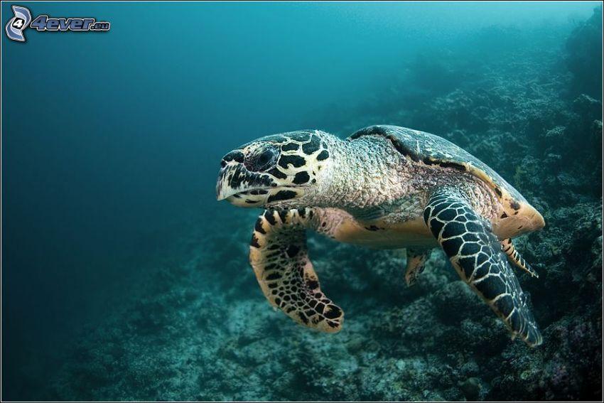 tortuga marina, corales marinos, fondo del mar