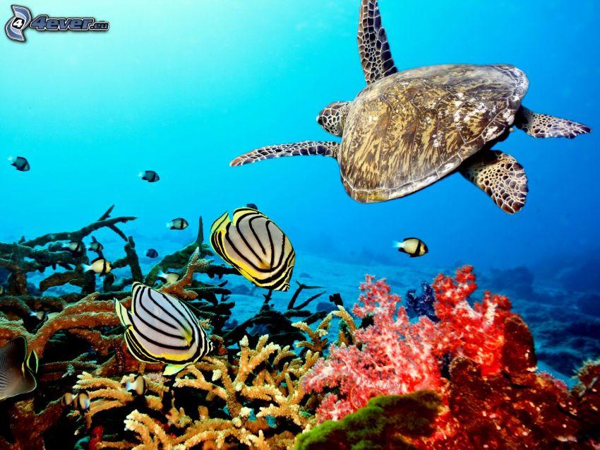 tortuga marina, corales marinos, pez coral