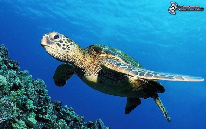 tortuga marina, corales marinos