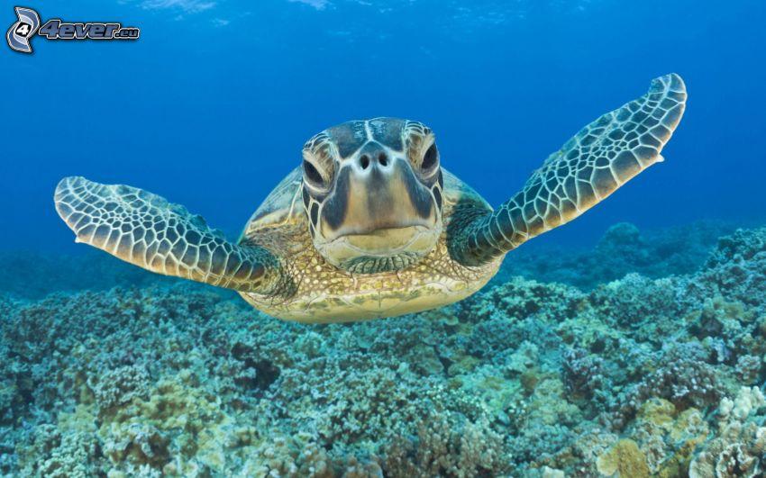 tortuga marina, mar del coral, fondo del mar