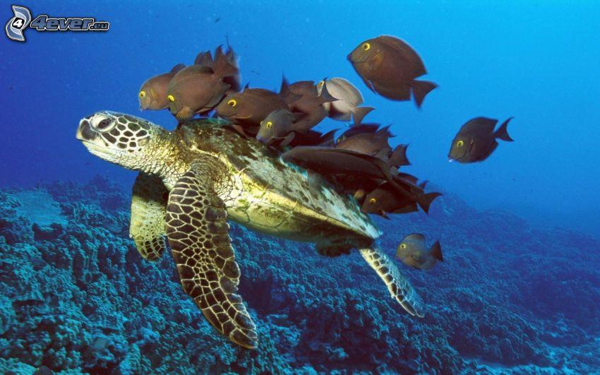 tortuga marina, peces, agua