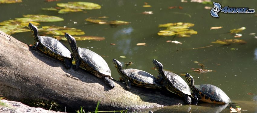 Tortugas, tronco, estanque