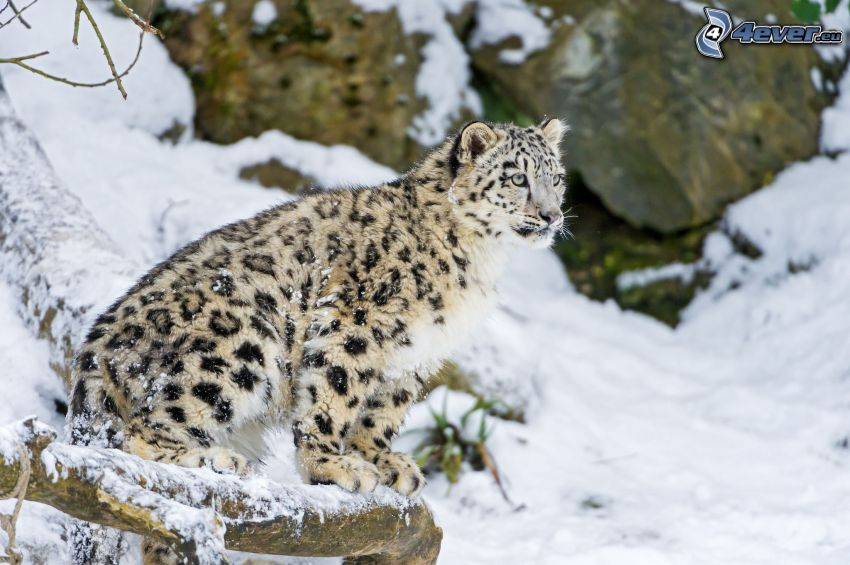 leopardo, nieve